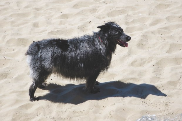 Murray took a dip in the ocean and frolicked in the sand.